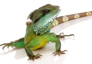 IguanaCrop